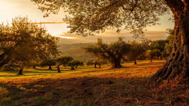 Rete Per Raccolta Olive